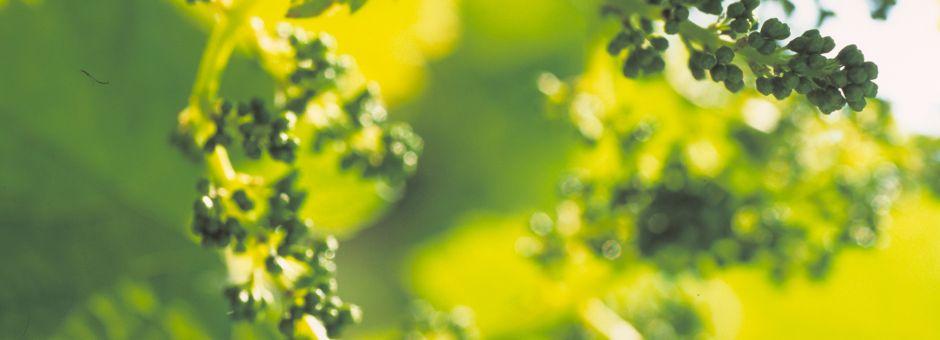 Bulletin de Santé du Végétal n°11